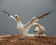 Behavior of wild migrating gannets at island Helgoland, Germany, Stock Photography
