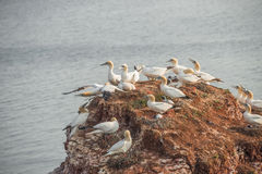 Behavior of wild migrating gannets at island Helgoland, Germany, Stock Images