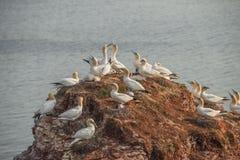 Behavior of wild migrating gannets at island Helgoland, Germany, Stock Photo
