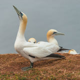 Behavior of wild migrating gannets at island Helgoland, Germany, Royalty Free Stock Photos