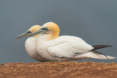 Behavior of wild migrating gannets at island Helgoland, Germany, Stock Photos