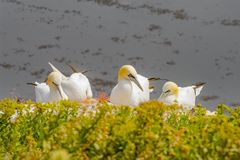 Behavior of wild nesting north Atlantic gannets at island Helgol Royalty Free Stock Photos