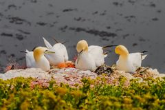 Behavior of wild nesting north Atlantic gannets at island Helgol Royalty Free Stock Image
