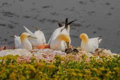 Behavior of wild nesting north Atlantic gannets at island Helgol Royalty Free Stock Photo