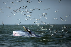 Behaviour , Bryde`s Whale eat anchovy fishes under the wave and. Seagull flying catch the anchovy in the sky , Phetchaburi province , gulf of Thailand royalty free stock image
