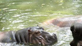 Behawioralny strzał w zwolnionym tempie hipopotam zbiory