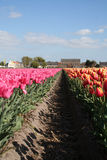 Beheaded Flower bulbs field as far as the eye can see, attracts many tourists. Royalty Free Stock Images