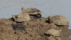 Behelmte Dosenschildkröten stock footage