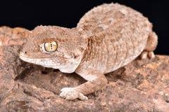 Behelmte Gecko Tarentola-chazaliae stockfotos