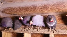 Behelmte guineafowls, die am Rastplatz sitzen stock video footage