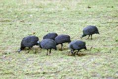 Behelmtes Guineafowl Lizenzfreies Stockfoto