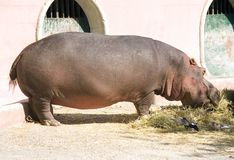 Behemot jest racicznego przeżuwającego ssaka wielki zwierzęcy agresywny Fotografia Royalty Free