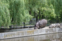 Behemoth enters the pool. At the zoo in Ukraine, an important and proud gait, he goes to his goal Stock Photography