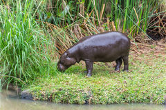 Behemoth Hippopotamus amphibius Stock Photo