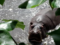 Behemoth in the dark river. Hippopotamus relaxing  after the lunch Stock Image