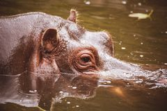 Behemoth looking from the water hippo. Behemoth looking  from the water big hippo Royalty Free Stock Photos