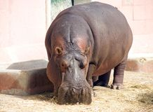 Hippopotamus hoofed mammal pig large animal Africa zoo poacher. Behemoth powerful and dangerous mammal of Africa, fangs, cloven-hoofed nostrils symbol mythology Stock Image