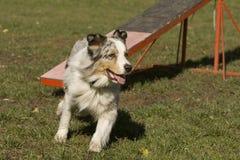Behendigheid - de de vaardigheidsconcurrentie van de Hond. Royalty-vrije Stock Afbeeldingen