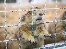 Behide da posição do cão de pradaria do close-up uma gaiola fotos de stock royalty free
