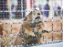Behide en gros plan de position de chien de prairie une cage images stock