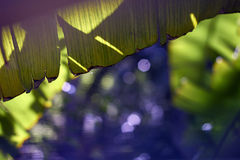Behind banana palm leaves Royalty Free Stock Photos