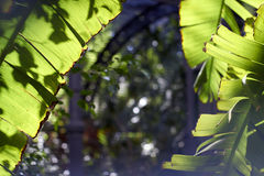 Behind banana palm leaves Stock Images