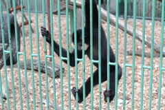 Behind bars. Little black monkey is hanging and holding bars and looking autside in the zoo Royalty Free Stock Photography