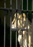 Behind bars. Lion sitting in the cell Stock Image