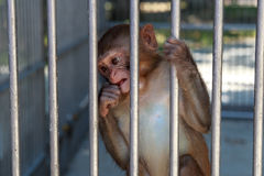 Behind bars. Monkey behind bars in the monkey nursery Stock Image