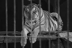 Behind the Bars Tiger Stock Image