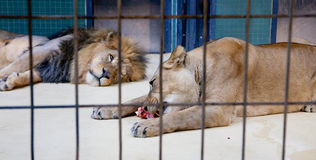 Behind bars in a zoo Royalty Free Stock Images