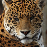 Behind Blue Eyes. Closeup of a Jaguar's face staring directly at the camera Royalty Free Stock Photos