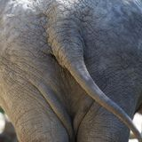 Behind of an elephant Royalty Free Stock Photo