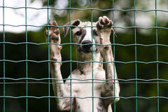 Behind the fence. Whippet puppy behind the fence Royalty Free Stock Photography