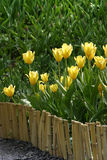 Behind a fence. Many yellow tulips behind a fence Stock Photos