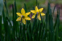Behind Jonquil Flowers. Pair of yellow Jonquil flowers from behind stock images