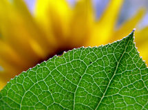 Behind the leaf. Blurred sunflower hiding behind the leaf royalty free stock photos