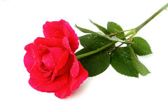 Behind the red rose Royalty Free Stock Image