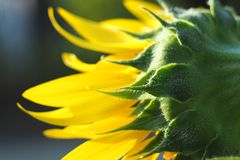 Behind the sunflower. Close up and focusing behind the sunflower on green background Royalty Free Stock Photos