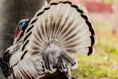 Behind the turkey tail. Stock Image