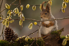 Behind a willow branch. Close up of  red squirrel behind a willow branch with flowers Royalty Free Stock Photos