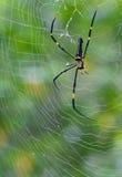Behinderte Naphila Maculata Spinne Stockfotografie