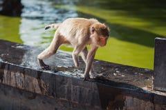 Behindertes Tier - Affe ohne eine Hand Stockfotografie