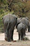 Behinds de los elefantes Foto de archivo libre de regalías