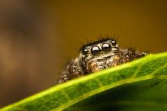 behinf隐藏的叶子蜘蛛 免版税图库摄影