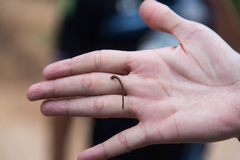 Beißende menschliche Hand des Blutegels Stockbilder