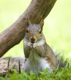 Beißendes Eichhörnchen des Nagels Stockbild
