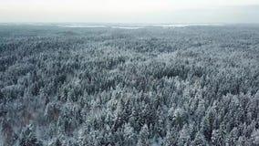 Bei alberi bianchi di inverno in foresta stock footage
