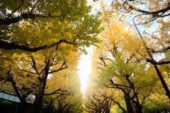 Bei alberi contro il cielo blu in autunno a Meiji Jingu Gaien Park, colori del ginkgo di autunno di JapanThe - di Tokyo dell'albe immagini stock