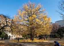 Bei alberi della foglia di giallo di perfetto-forma nell'inverno Fotografie Stock